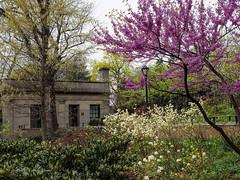 Spring Comfort (CVerwaal) Tags: centralpark spring newyork ny usa comfortstation blossoms easternredbud williamchurchosbornmemorialplayground osbornmemorialplayground olympusem5 lumixgvario1235mmf28