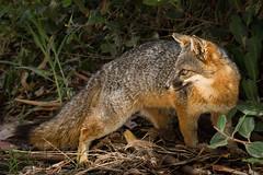 Island Fox - Santa Cruz Island - explore (alicecahill) Tags: california usa fox ©alicecahill mammal nationalpark island wild channelislandsnp santacruz islandfox animal