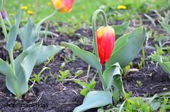 I'm single and sad (Friday5100) Tags: tulip red green single lonely sad