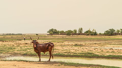 Mali (DC P) Tags: mali africa cow animal landscape water wide angle travel hard serene view farm farming adventure addicted african beautiful color explore fantastic nature ngc outdoor outside panorama trekking wideangle world village