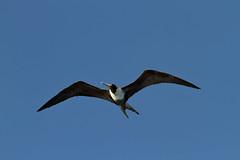 Frigate Bird (david.england18) Tags: frigatebird canonef70200mmf28lisllusm caribbean tortola bvi canon7d flyingfish bowwave calm sunrise