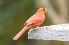 7K8A2814 (rpealit) Tags: scenery wildlife nature florida widlife northern cardinal missing upper beak bird