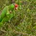 Red-crowned Parrot (Amazona viridigenalis) - Weslaco, TX