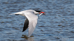 Caspian Tern (Bob Gunderson) Tags: aerialwaterbirds birds california caspiantern coyotepointcountypark hydroprognecaspia northerncalifornia peninsula sanmateocounty terns coth ngc coth5