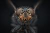 Housefly (Harry Sterken) Tags: arthropods commonhousefly fliege fly geleedpotigen gliederfüser hausfliege housefly huisvlieg insect kamervlieg macro muscadomestica muscidae photostacking stubenfliege tweevleugeligen vlieg zerene zerenestacker zweiflügler dipterous
