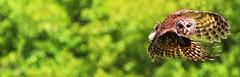 Fly Away (dianne_stankiewicz) Tags: flying raptor barredowl barred nature flight owl bird coth5