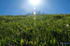 Dandy Flare (RGTechMedia) Tags: grass districtofcolumbia spring yellow blossums white green weeds washingtondc sun blue blooms dandelions gloverpark trees lensflare sky sunlight unitedstates branches american grasses flower