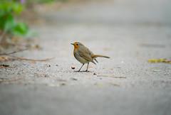 Robin (meccabolix) Tags: fe 70300mm f4556 g oss sel70300g a7rii sony outdoor animal ngc bird robin songbird wwt martin mere lancashire