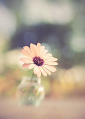The joy of the garden (RoCafe Off for a while) Tags: lensbaby stilllife sweet50 daisy garden blur bokeh nikond600 flower outdoor