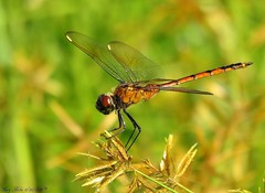 The Only Dragonfly (Gary Helm) Tags: dragonfly bug insect wings animal fourspottedpennant joeoverstreet osceolacounty lakekissimmee canon sx60hs powershot camera photograph image outside nature wildlife outdoor ghelm4747 garyhelm florida usa us macro