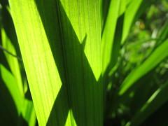 An Imaginary Forest #239 (tt64jp) Tags: 植物 japan japanese 日本 nature green plants leaf leaves forest 森 葉 自然 plant flora foliage 群馬 桐生 gunma kiryu 緑 葉っぱ 葉脈 vein 春 spring みどり japon 일본 ヒメヒオウギズイセン crocosmia montbretia 草 grass weed veins