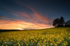 Rapsfeld / Rape field (Claudia Bacher Photography) Tags: raps rape rapsfeld rapefield sonnenuntergang sunset himmel heaven wolken clouds sonne sun schweiz suisse switzerland sonya7r gelb yellow pflanzen plant
