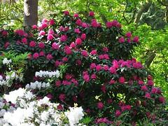 Clyne In Bloom Early May 2017 (13) (goweravig) Tags: azaleas clyne parks gardens swansea mayals wales uk blooms flowers clynegardens