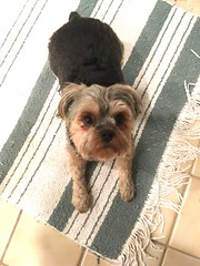 chewie. may 2017 (timp37) Tags: may 2017 chewie dog pet