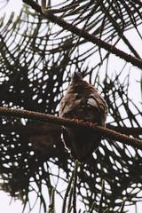 (JennaF.) Tags: animal cuculi ave ramas arbol jardin horacio universidad antonio ruiz de montoya lima perú fauna uarm