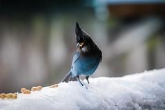 Steller's Jay being coy.. (CORDAN) Tags: 2017 cordan dmyers nikond300 nikkor70200mmf28dtc17eii stellersjay cyanocittastelleri geaidesteller characrestada crest fluffy stellarjay brightblueandblack blue bird bluebird peanut