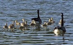 Everybody stay close! (Pejasar) Tags: geese goslings water lake family
