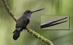 Androdon aequatorialis - Tooth-billed Hummingbird - Colibrí Piquidentado male 03a (jjarango) Tags: avesdecolombia aves avesde birding birdingcolombia birdwatching birdsofcolombia hummingbird androdonaequatorialis toothbilledhummingbird colibrípiquidentado