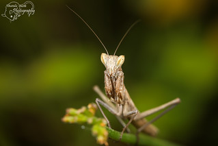 My first Praying Mantis picture