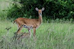 Bonne fêtes des mères (LynxDaemon) Tags: mother child baby deer uganda safari antelop grass hidding