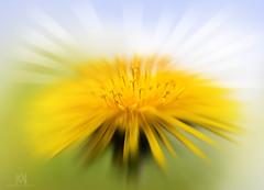 good morning sunshine! (marianna_a.) Tags: dandelion sun sunburst sunshine yellow gold rays burst macro sliders sunday hss mariannaarmata petals curlycues pistils