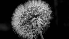 B&W Dandelion (williams19031967) Tags: black white flower dandelion sony cybershot uk wellingborough england pretty dark close up macro bokeh bokehbeyound
