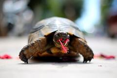 Vegans live longer... (Michael Kalognomos) Tags: turtle vegan dof greece athens kallithea steet animal flower superherovirus ef50mmf18 canoneos5dmarkiii depthoffield portrait bokeh tortoise