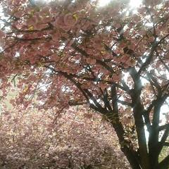Aveva provato a valutare la sitazione dall'alto 2 (plochingen) Tags: arbre tree sakura europe brussels bruxelles brussel europa city citta ville stadt urban derive abstract astratto abstrakt abstrait minimal less