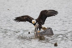 Bald eagle (Haliaeetus leucocephalus) (Tony Varela Photography) Tags: eaglepredation greatblueheron haliaeetusleucocephalus heron photographertonyvarela baldeagle eagle canon