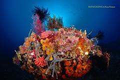 Garden in the blue (kayak_no1) Tags: nikon d800e nauticamhousing 15mmsigmafisheye fisheye ysd1 underwater underwaterphotography wa wideangle diving scubadiving uw rajaampat indonesia coralreef color