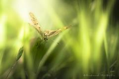 Printemps artistique (Bertrand Thiéfaine) Tags: d750 insecte macro nikon printemps sigma150f28 papillon marais prairie herbe maraisdegrée ancenis nature soleil vert