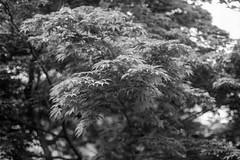 물결 wave (Daegeon Shin) Tags: fujifilm xpro2 nikkor 50mmf12 mf manualfocus bokeh dof tree arbol bw 물결 wave ola mapletree 단풍나무 árboldearce 후지 니콘렌즈 수동렌즈 수동 보케 빛망울 심도 나무 mirrorless nature 자연