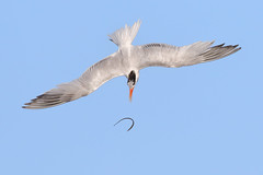 Come back here!!! (bmse) Tags: elegant tern bolsa chica fish fishing tossing pipefish canon 7d2 400mm f56 l bmse salah baazizi wingsinmotion