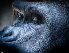 Do not disturb... (Rotundus III) Tags: gorilla kisoro basel switzerland canon canon6d canondslr canonlseries lseries ef70200mm