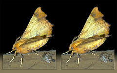Ennomos Magnaria, Maple Spanworm Moth - Crosseye 3D (DarkOnus) Tags: pennsylvania buckscounty huawei mate8 cell phone 3d stereogram stereography stereo darkonus closeup macro insect ennomos magnaria maple spanworm moth crossview crosseye
