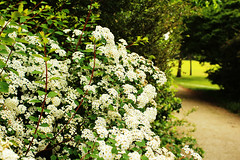 I love white flowers (Katrinitsa) Tags: parismay2017 paris france europe canon canoneosrebelt3i ef35mmf14lusm bokeh zoom focus nice white colors flowers bush plant plants garden gardens park jardin précatelan amazing awesome beauty beautiful nature landscape green strolling bloom blossom stem love passion bois boisdeboulogne boulogne forest path shadows light sunlight perfect spring may macro detail happy happiness excellent stunning inspiring inspiration lantana joy art artistic imagination view terrific