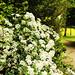 I+love+white+flowers