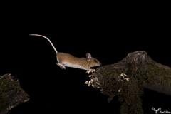 Rato-do-campo - Wood mouse ( Apodemus sylvaticus ) (joelcsilva) Tags: joelsilva fotografia natureza vidaselvagem animais mamiferos nocturna noite barreirainfravermelhos nature nocturn nightphotography infraredbarrier wildlife wildlifephotography mammals ratodocampo woodmouse apodemussylvaticus canon30d flash trofa portugal