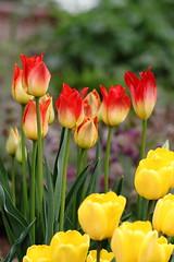 Tulips (jlcummins - Washington State) Tags: tulips garden flowers flowergarden flora washingtonstate yakimacounty