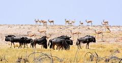 Two Tribes. (pstone646) Tags: africa namibia antelope wildebeast nature wildlife etosha animals mammals