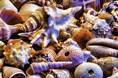 Shells 1 Alt (joegeraci364) Tags: shell animal beach shore coast sand vacation memories summer season tropical tropics conch snail clam scallop mollusk bivalve shape round helix design nature natural color image photographprint