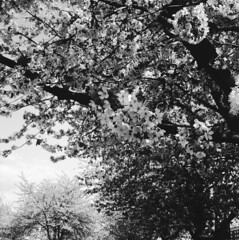 Flowers (rotabaga) Tags: göteborg gothenburg sverige sweden svartvitt lomography lubitel166 tmax100 mellanformat mediumformat 6x6 120 twinlens