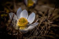 Floraison des Alpes (Frédéric Fossard) Tags: végétal pétale jaune bokeh profondeurdechamps lumière alpes vanoise savoie tarentaise printemps crocusprintanier florealpine fleurdesmontagnes texture
