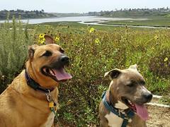 Back Bay dogs (simonov) Tags: dog hund chien 狗 σκύλοσ madra cane 犬 perro 개 سگ собака الكلب germansheprador bella juniper puppy newportbeach backbay