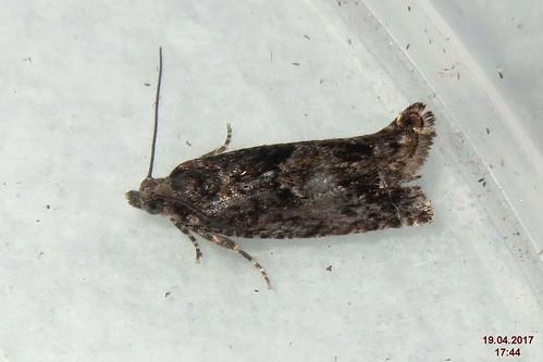 Epinotia immundana (kit)