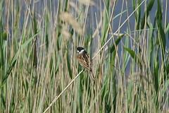 Bruant des roseaux / Reed bunting (.Steph) Tags: oiseau bird water eau étang pond nature bruant roseaux