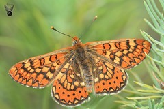 Euphydryas aurinia 8 (JuanMa-Zafra) Tags: euphydryas aurinia mariposa insectos macro nikon nikkor d7100 105mm reflector difusor predestello flash sb800 campo primavera zafra extremadura