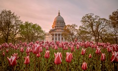 Blooming Tulips (Kirby Wright) Tags: nikon d700 tamron 2040 2040mm f2735 wide angle bw ten 10 stop neutral density filter long exposure 30 sec seconds capitol square madison wi madison365 dane county tulips flower flowers bed stems green pink blue red orange yellow building architecture down low sky sunset dusk golden hour beautiful colors downtown outdoors spring showers may