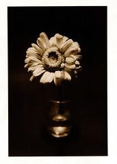 Lith auf Argenta fotopapier (Claudio Taras) Tags: claudio contrasto controluce hasselblad501cm film flower fiori fomapan rodinal rollfilm 120 analogica analogico 17x24 omega monocromo monochrom macro argenta mt3 taras trier toned toner filmisnotdead darkroom mediumformat mittelformat