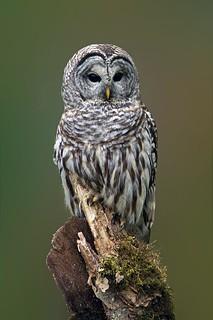 Barred Owl Portrait (r)